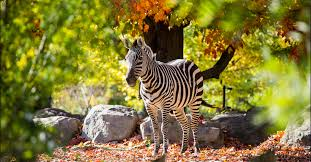 An image of a Zebra